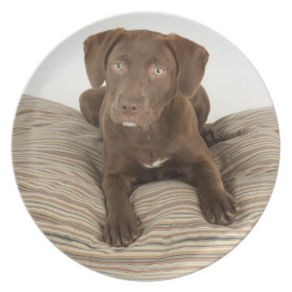 Four-Month-Old Chocolate Lab Puppy on Pillow Dinner Plate