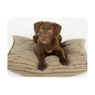 Four-Month-Old Chocolate Lab Puppy on Pillow Magnet