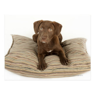 Four-Month-Old Chocolate Lab Puppy on Pillow Postcard