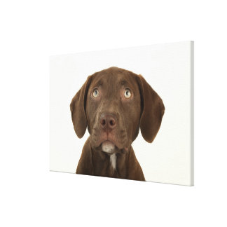 Four-Month-Old Chocolate Lab Puppy Portrait Stretched Canvas Print