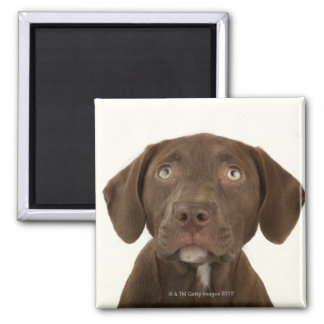 Four-Month-Old Chocolate Lab Puppy Portrait Magnet