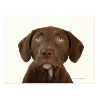 Four-Month-Old Chocolate Lab Puppy Portrait Postcard