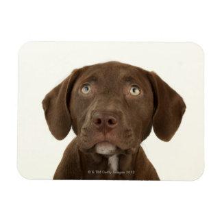 Four-Month-Old Chocolate Lab Puppy Portrait Flexible Magnet