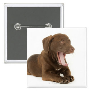 Four-Month-Old Chocolate Lab Puppy Yawning Button