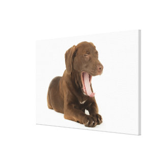 Four-Month-Old Chocolate Lab Puppy Yawning Canvas Prints