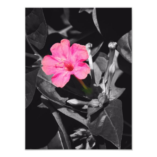 Four O'Clock Flower Photo Print