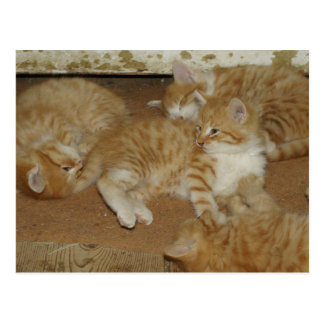 Four Red Tabbies Postcard
