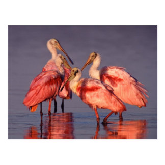 Four Roseate Spoonbills (Ajaia ajaja) at Dawn Postcard