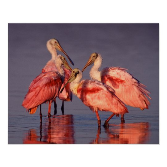 Four Roseate Spoonbills (Ajaia ajaja) at Dawn Poster