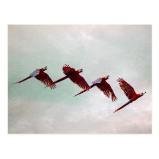 Four Scarlet Mackaws Flying Postcard