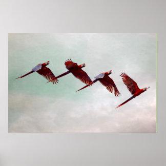 Four Scarlet Mackaws Flying Poster
