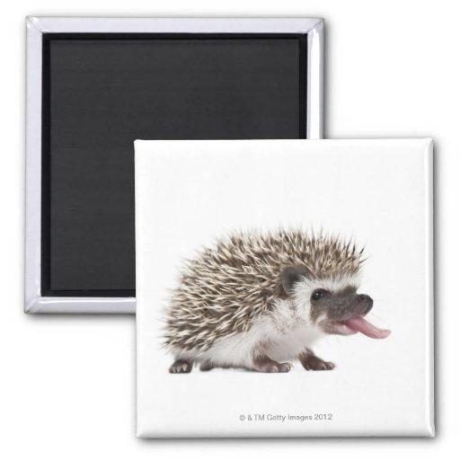 Four-toed Hedgehog - Atelerix albiventris 2 Inch Square Magnet