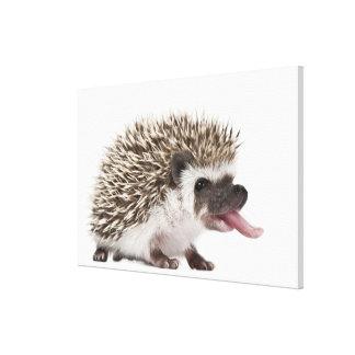 Four-toed Hedgehog - Atelerix albiventris Canvas Print