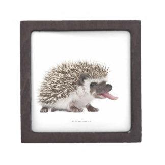 Four-toed Hedgehog - Atelerix albiventris Gift Box