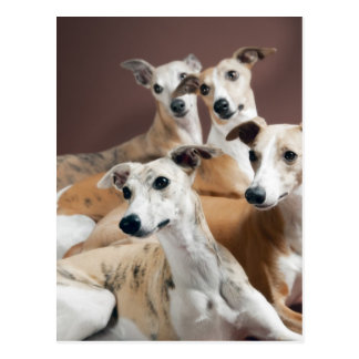 Four whippets postcard
