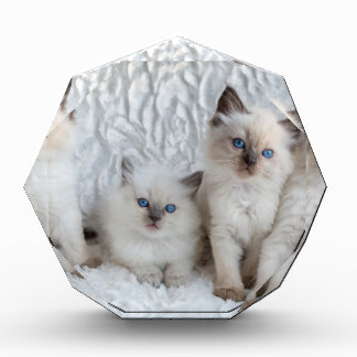 Four young Ragdoll cats sitting in a row Award