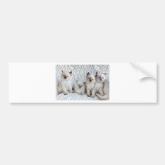 Four young Ragdoll cats sitting in a row Bumper Sticker