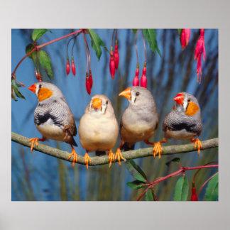 four Zebrafinken next to each other sitting on bra Poster
