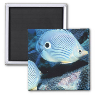 Foureye butterflyfishes 2 inch square magnet
