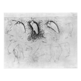 Fourteen egrets, from the The Vallardi Album Postcard