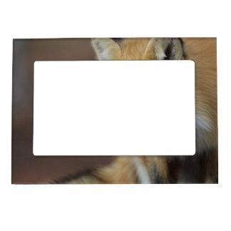 Fox adorable marcos magnéticos para fotos