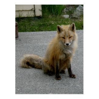 Fox Aleutian en el centro mayor Tarjetas Postales