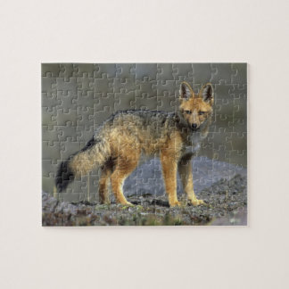Fox andino, (culpaeus del Dusicyon), Paramo Cotopa Rompecabezas Con Fotos