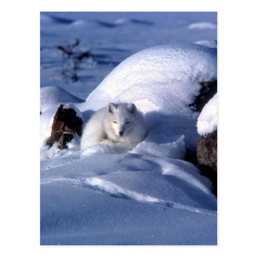 Fox ártico americano tarjetas postales