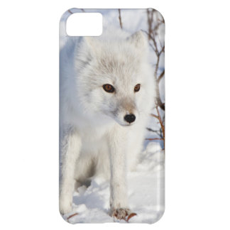 Fox ártico, área de la gestión de la fauna de funda para iPhone 5C