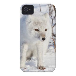 Fox ártico, área de la gestión de la fauna de iPhone 4 Case-Mate funda