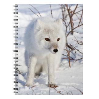 Fox ártico, área de la gestión de la fauna de libreta
