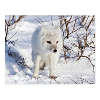 Fox ártico, área de la gestión de la fauna de tarjetas postales