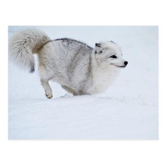 Fox ártico en el funcionamiento postal