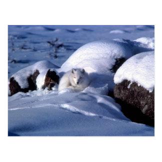 Fox ártico en nieve postal
