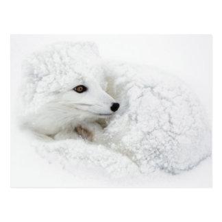 Fox ártico encrespado para arriba en invierno postales