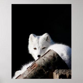 Fox ártico poster