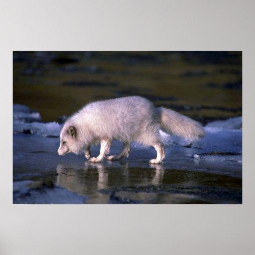 Fox ártico que forrajea a lo largo del río helado póster