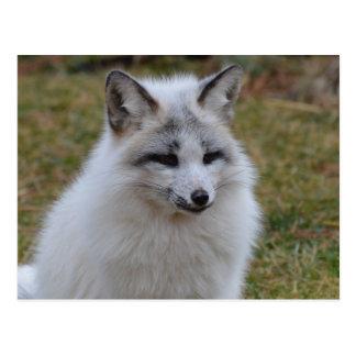 Fox blanco adorable postal