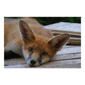 FOX CHILLIN POSTER