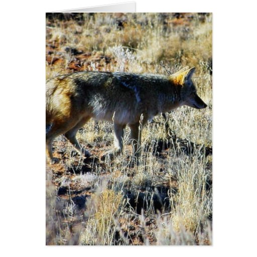 Fox Coyotes Wild Anilmal In Field Cards