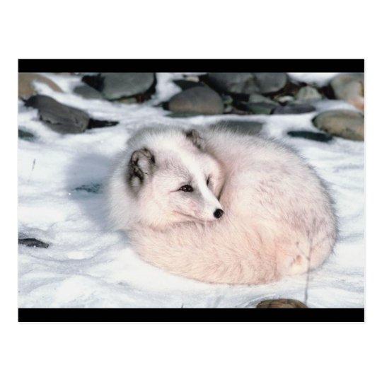 Fox de la nieve postales