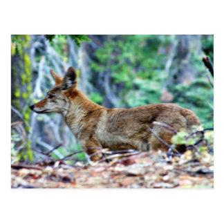 Fox gris postal
