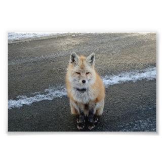 Fox hambriento fotografías