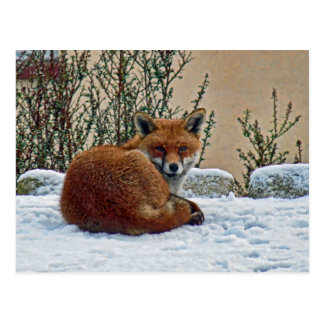 Fox in the snow postcard