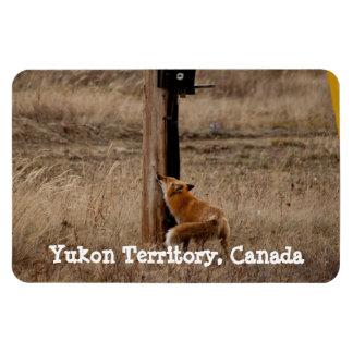 Fox Loves Utility Pole; Yukon Territory Souvenir Magnet