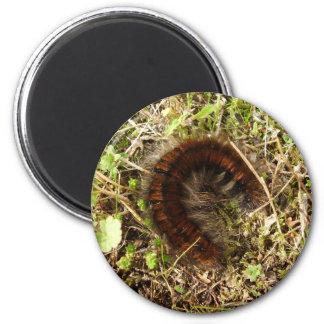 Fox Moth Caterpillar Magnet