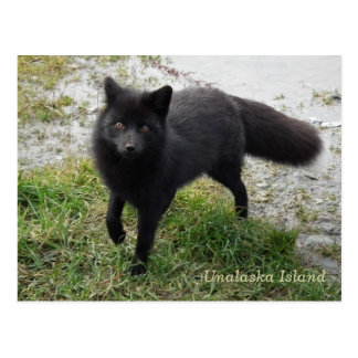 Fox negro en la isla de Unalaska Tarjetas Postales