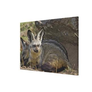 Fox Palo-espigado, megalotis de Otocyon, Masai Impresión En Lienzo Estirada