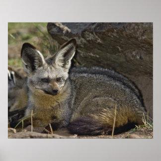 Fox Palo-espigado, megalotis de Otocyon, Masai Mar Póster