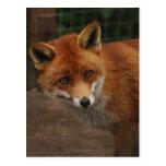 Fox Postcards